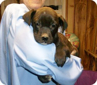 Labrador Retriever Mix Puppy for adoption in Liberty Center, Ohio - Albert