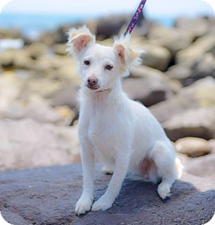 Spaniel (Unknown Type)/Terrier (Unknown Type, Small) Mix Dog for adoption in Irvine, California - TINKERBELL (ADOPTION PENDING)