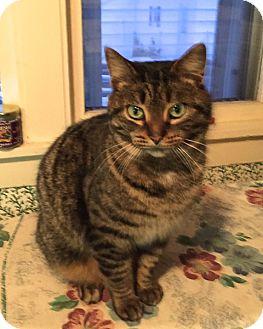 Domestic Shorthair Cat for adoption in Traverse City, Michigan - Kit Kat