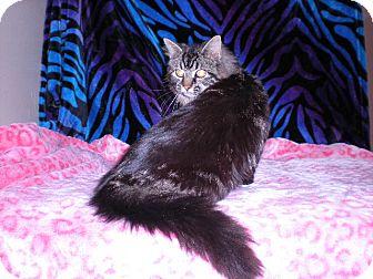 Domestic Longhair Cat for adoption in New Castle, Pennsylvania - Nala