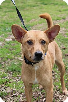 Feist Mix Dog for adoption in Waldorf, Maryland - Crash