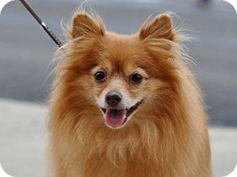 Pomeranian Dog for adoption in Great Falls, Montana - Fancy