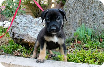 Shepherd (Unknown Type)/Husky Mix Puppy for adoption in Los Angeles, California - Bisby