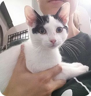 Domestic Shorthair Kitten for adoption in Cherry Hill, New Jersey - Mr. Personality