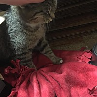Domestic Shorthair Cat for adoption in Goldsboro, North Carolina - Esmeralda