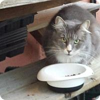 Adopt A Pet :: Chubbs - Columbia, MD