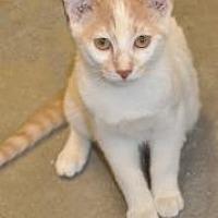 Domestic Shorthair/Domestic Shorthair Mix Cat for adoption in Pompano Beach, Florida - Boca Sammy