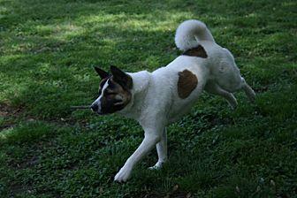Akita Dog for adoption in Virginia Beach, Virginia - Yuki