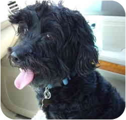 Cockapoo Mix Dog for adoption in Melbourne, Florida - ZEKE