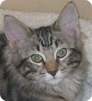 Domestic Longhair Kitten for adoption in Garland, Texas - Timmy