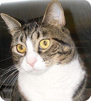 Domestic Shorthair Cat for adoption in Buhl, Idaho - Brandi