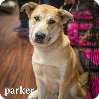 Carolina Dog/Labrador Retriever Mix Dog for adoption in Plano, Texas - Parker