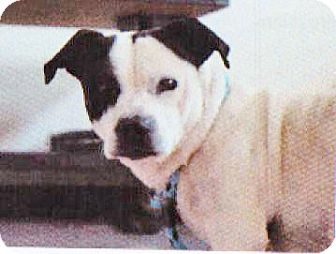 Beagle/Pit Bull Terrier Mix Dog for adoption in Spokane, Washington - Dino