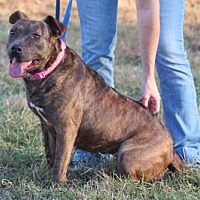 American Staffordshire Terrier Mix Dog for adoption in Bardstown, Kentucky - Gemma