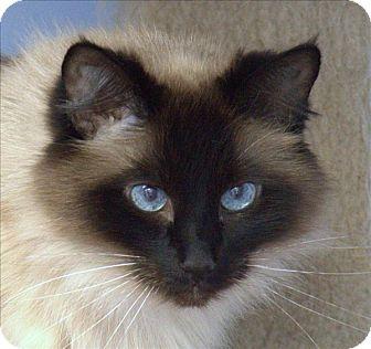 Himalayan Cat for adoption in Atascadero, California - Fluffy