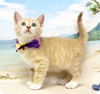 Domestic Shorthair Cat for adoption in Harrisonburg, Virginia - Edsel