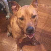 Labrador Retriever Mix Dog for adoption in Mission, Kansas - Alien