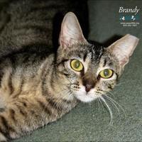 Adopt A Pet :: Brandy - Belle Chasse, LA