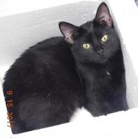 Domestic Shorthair/Domestic Shorthair Mix Cat for adoption in Owensboro, Kentucky - Rolo