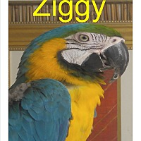 Adopt A Pet :: Ziggy the Sweet Blue & Gold - Vancouver, WA