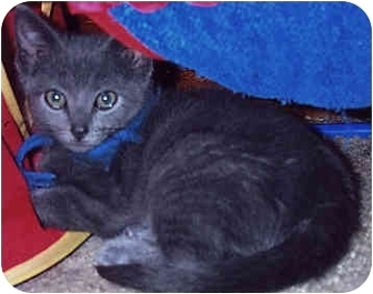 Domestic Shorthair Kitten for adoption in Owatonna, Minnesota - Cloud