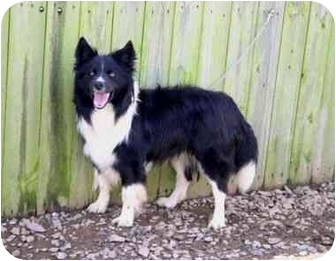 Border Collie Dog for adoption in Muldrow, Oklahoma - Trixter