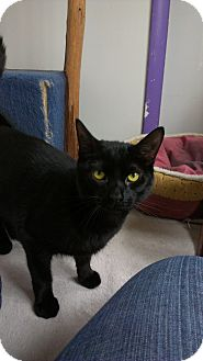 Domestic Shorthair Cat for adoption in Richboro, Pennsylvania - Alfabeto