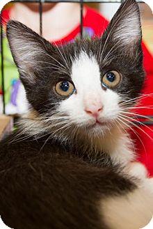 Domestic Shorthair Kitten for adoption in Irvine, California - Rocky