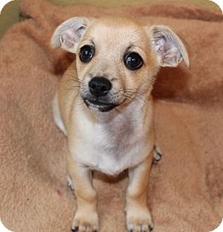 Dachshund/Jack Russell Terrier Mix Puppy for adoption in La Habra Heights, California - Peter