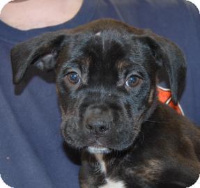 Rottweiler/Hound (Unknown Type) Mix Puppy for adoption in Brooklyn, New York - Kim