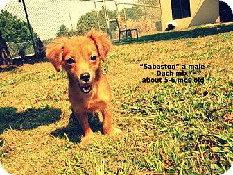 Dachshund Mix Puppy for adoption in Gadsden, Alabama - Sebaston