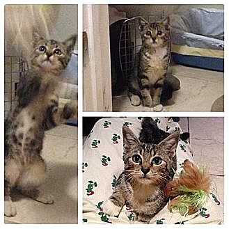 Domestic Shorthair Kitten for adoption in Miami, Florida - Little Boo