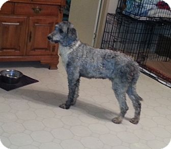 Poodle (Standard)/Australian Shepherd Mix Dog for adoption in Bowie, Texas - ABBY