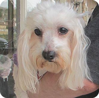 Maltese Dog for adoption in Spring Valley, New York - Cupcake