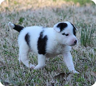 Chihuahua/Terrier (Unknown Type, Small) Mix Puppy for adoption in Albany, New York - UNO