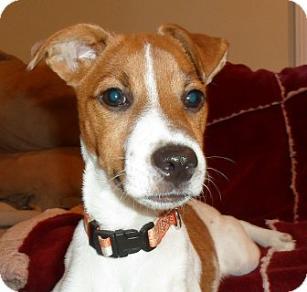 Jack Russell Terrier Puppy for adoption in Hagerstown, Maryland - Wishbone
