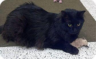 Maine Coon Cat for adoption in Phoenix, Arizona - Toby