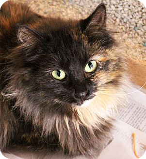 Domestic Mediumhair Cat for adoption in Parkville, Missouri - AShley