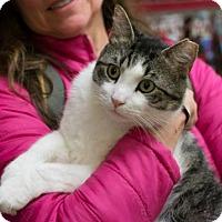 Domestic Shorthair Cat for adoption in New York, New York - Aztec