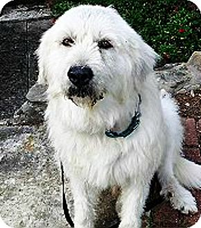 Great Pyrenees/Irish Wolfhound Mix Dog for adoption in Kyle, Texas - Riley