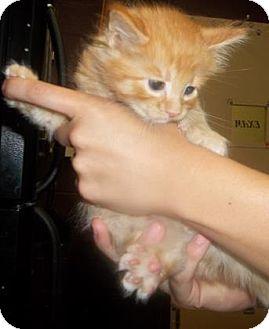 Domestic Shorthair Kitten for adoption in Rapid City, South Dakota - Soda Pop