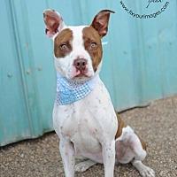 Pit Bull Terrier Dog for adoption in Kansas City, Missouri - Petunia