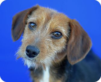 Welsh Terrier/Terrier (Unknown Type, Small) Mix Dog for adoption in LAFAYETTE, Louisiana - GEORGIA