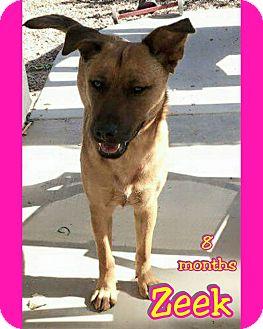 German Shepherd Dog Mix Puppy for adoption in Mesa, Arizona - Zeek