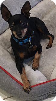 Miniature Pinscher Dog for adoption in Los Angeles, California - JACK