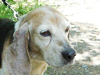 Beagle Dog for adoption in Millerstown, Pennsylvania - OCTORARO