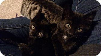 Domestic Shorthair Kitten for adoption in Bear, Delaware - Pistachio and Petunia