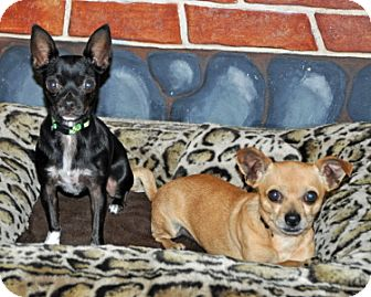Chihuahua Dog for adoption in Port Washington, New York - Sounder