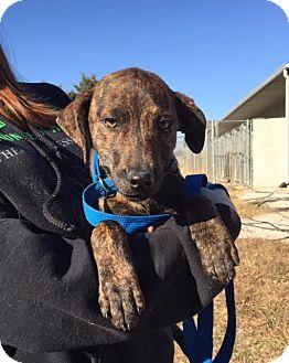Plott Hound Mix Dog for adoption in Allentown, Pennsylvania - Aye