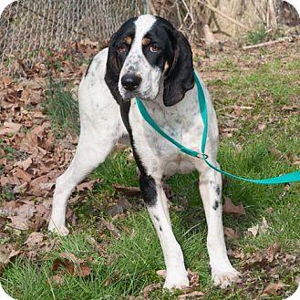 Coonhound Mix Dog for adoption in New Martinsville, West Virginia - Clara Belle